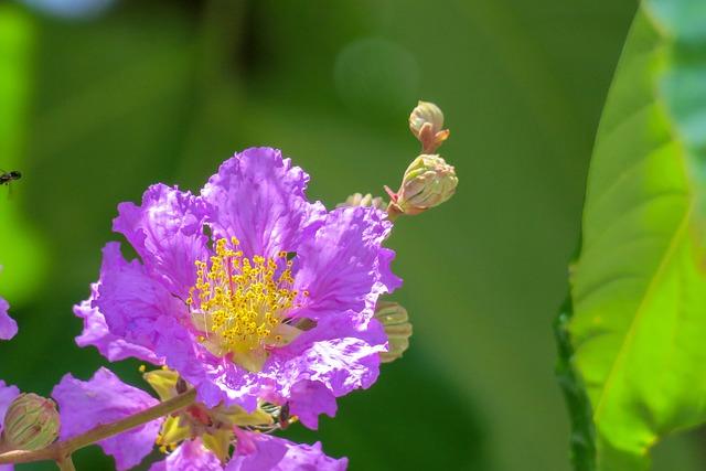 Lagerstroemia, Flower, Plant, Wild Flowers, Hua Xie