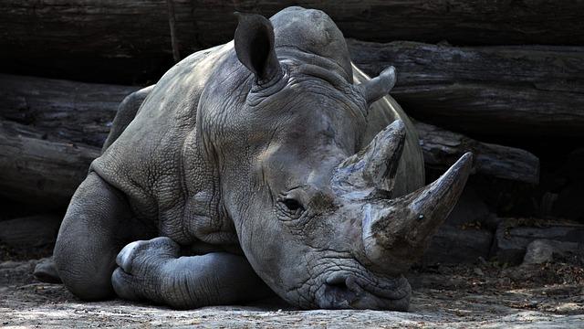 Animal, Big, Grey, Huge, Large, Mammal, Rhinoceros