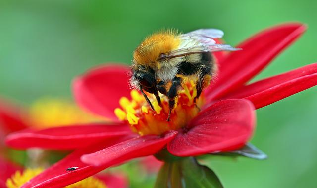 Hummel, Meadow Hummel, Bombus Pratorum Insect, Fly