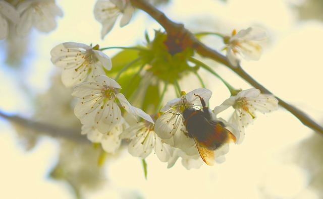 Hummel, Hymenoptera, Insect, Real Bees, Collect Nectar