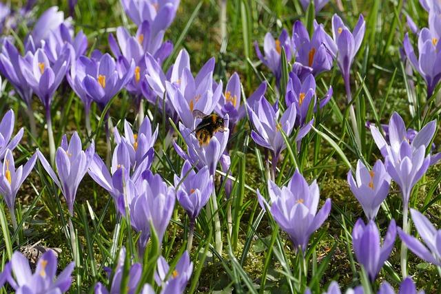 Crocus, Hummel, Spring, Flower, Nature, Plant, Flowers