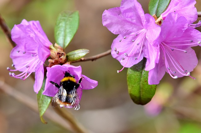 Hummel, Insect, Pollination, Nectar, Blossom, Bloom