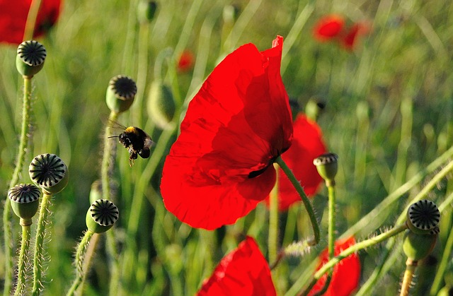 Poppy, Bee, Hummel, Close, Klatschmohn, Food Intake