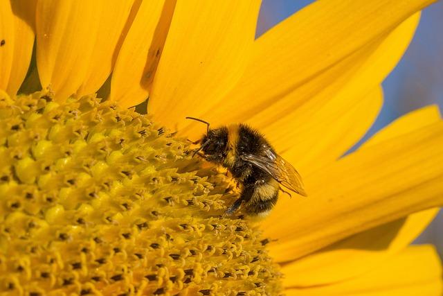 Sun Flower, Blossom, Bloom, Summer, Yellow, Hummel
