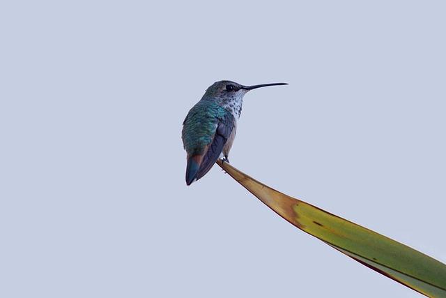 Hummingbird, Birds, Swifts