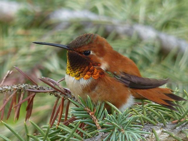 Hummingbird, Bird, Feathered, Small, Wildlife, Nature