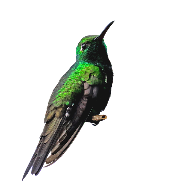 Cuba, Hummingbird, Png, Bird, Green, Nature, Small