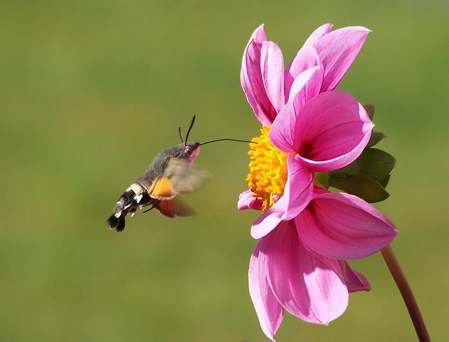 Hummingbird Hawk Moth, Butterfly