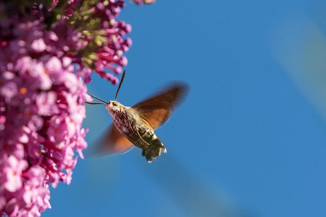 Hummingbird Hawk Moth, Insect, Wing, Fly, Flower