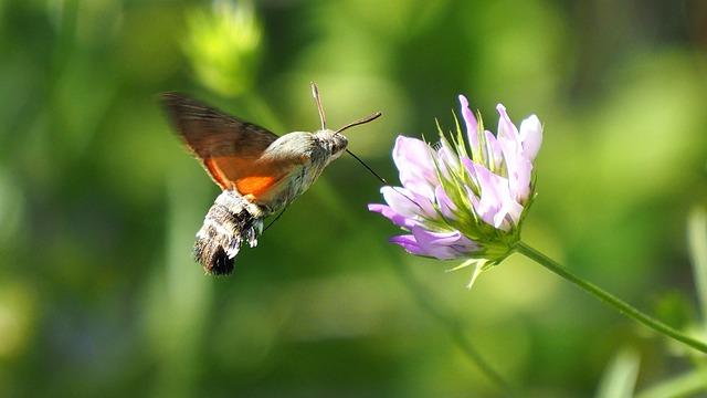 Nature, Butterfly, Hummingbird Hawk-moth, Macro