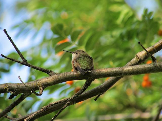 Rufous Hummingbird, Hummingbird, Rufous, Orange, Green