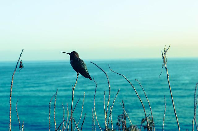 Hummingbird, Seaview, Blues