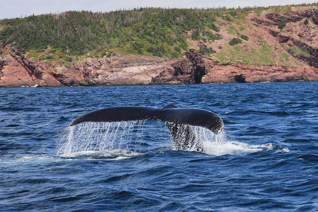 Whale, Humpback, Mammal, Baybulls, Newfoundland, Fluke
