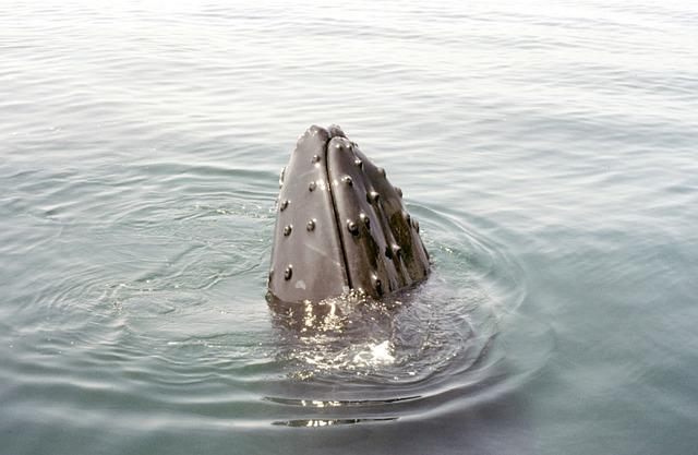 Humpback, Whale, Cape Cod