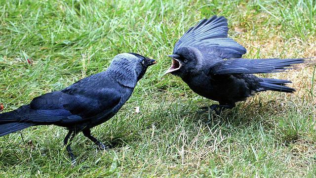 Young Animal, Jackdaw, Hunger, Food, Attention, Spring