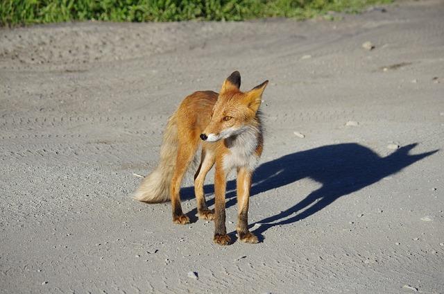 Fox, Moth, Predator, Wild Beast, Hunger, Road, Meeting