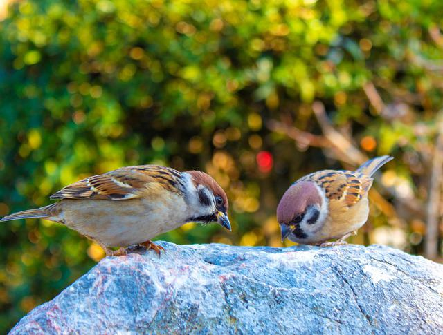 Sparrows, Eating, Rock, Birds, Hungry, Small, Pecking