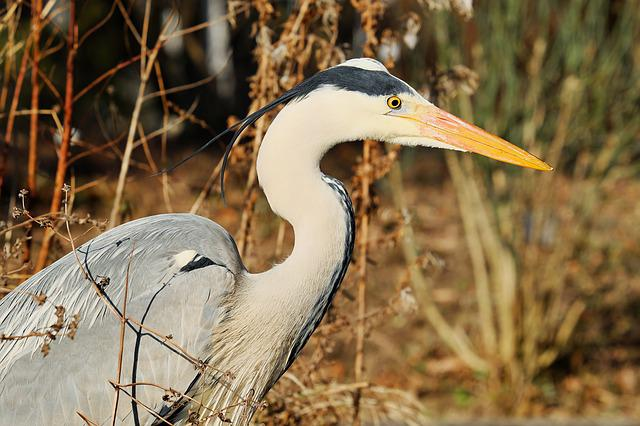 Heron, Grey Heron, Bird, Grey, Hunter, Eastern