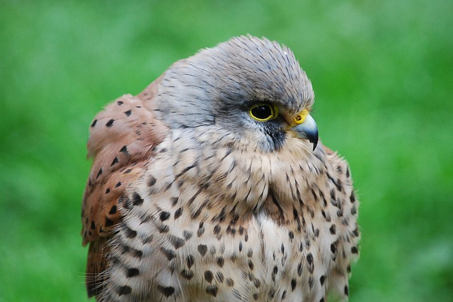 Kestrel, Hawk, Close-up, Hunter, Beak, Bird Of Prey