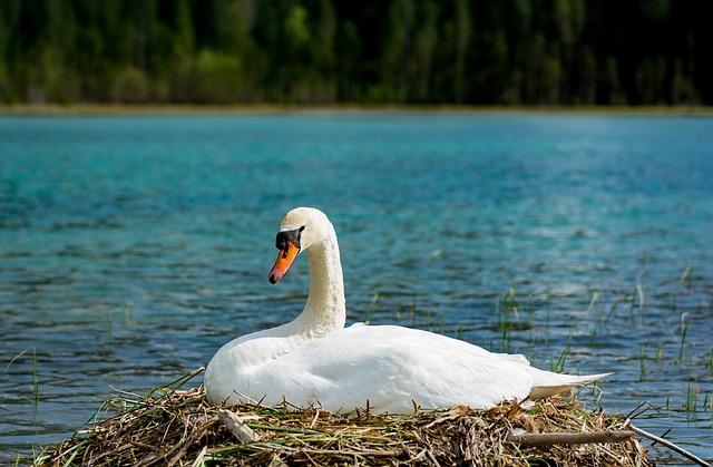 Swan, Breed, Hunter Lake, Kleinarl, Austria, Waters