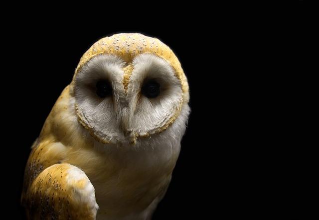 Owl, Barn, Barn Owl, Bird, Raptor, Spooky, Hunter