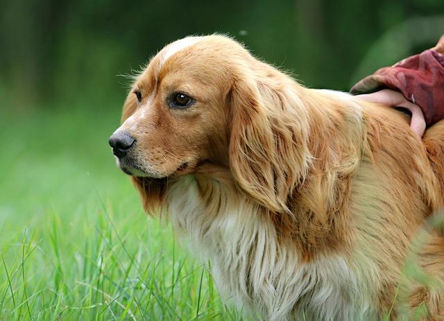 Dog, Ears, Hunting, Brown, Stroll, Devotion, Fidelity