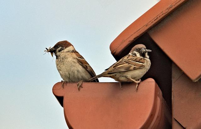 Sparrows, Parents, Feeding, Family, Para, Hunting