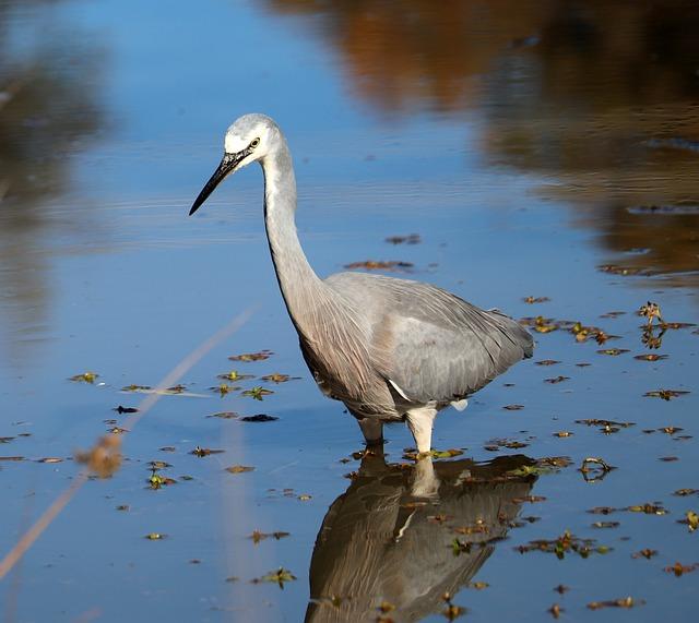 Bird, Heron, Hunting, Lake, Pond, Wildlife, Nature