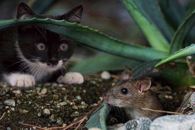 Katz, Mouse, Animal, Cute, Funny, Catch, Hunting