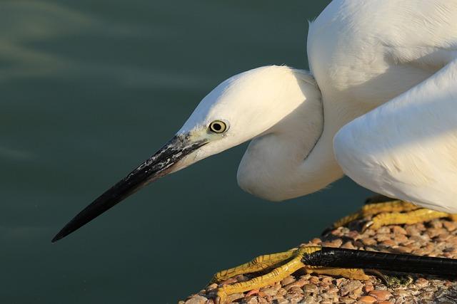 Bird, Little Egret, White, Hunting, Water