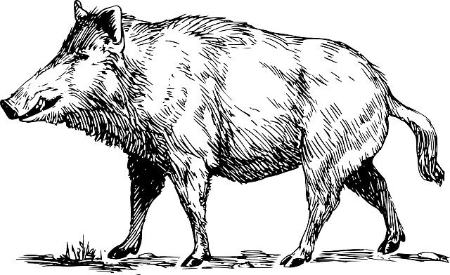 Boar, Wild, Animal, Wildlife, Tusk, Hunting, Snout