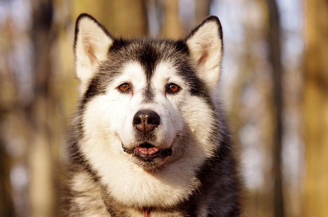Husky, Sled Dogs, Adamczak