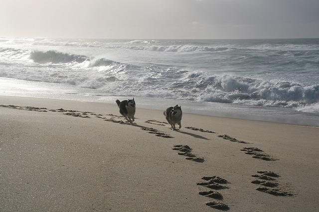 Dogs Running, Husky, Galician Beach