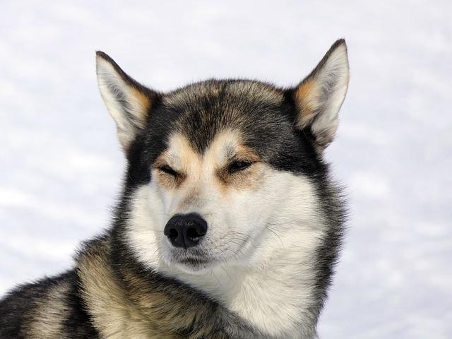 Dog, Husky, Snow, Mountain, Canine, Mammal