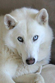 Husky Mix, Husky, Dog, White, Blue Eyes, Blue, Eyes