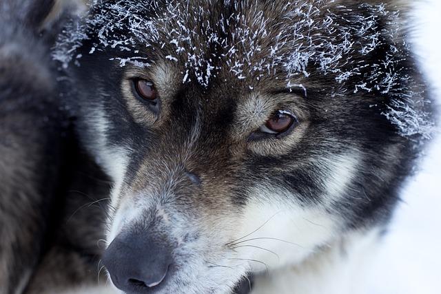 Husky, Finland, Lapland, Musher, Snow Dog
