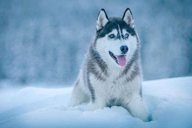 Dog, Animal, Husky, Snow, Winter, Cold, Weather, White