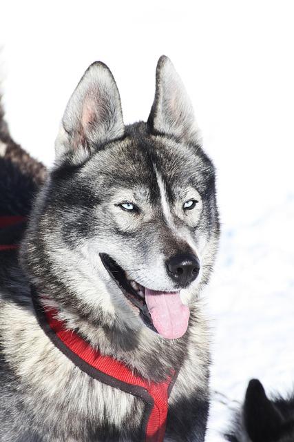 Husky, Dog, Alps, Queiras, Winter, Mountain