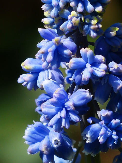 Hyacinth, Muscari Armeniacum, Blossom, Bloom, Flower