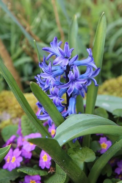 Hyacinth, Hyacinth Blue, Spring