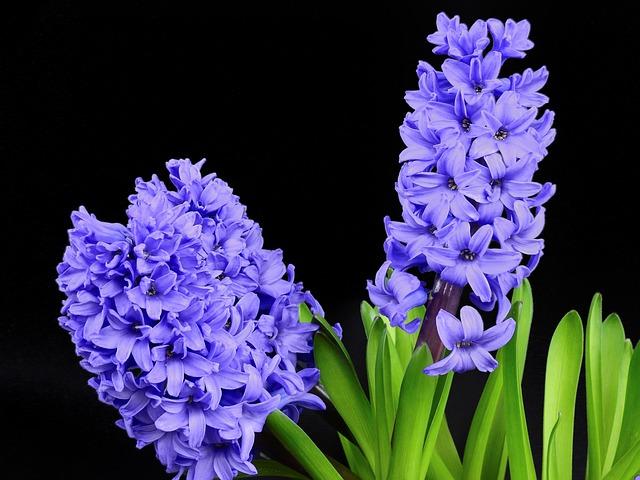 Hyacinth, Flower, Blossom, Bloom, Bloom, Spring, Nature