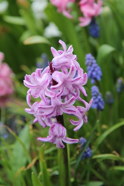Hyacinth, Pink, Hyacinth Pink, Pink Flowers
