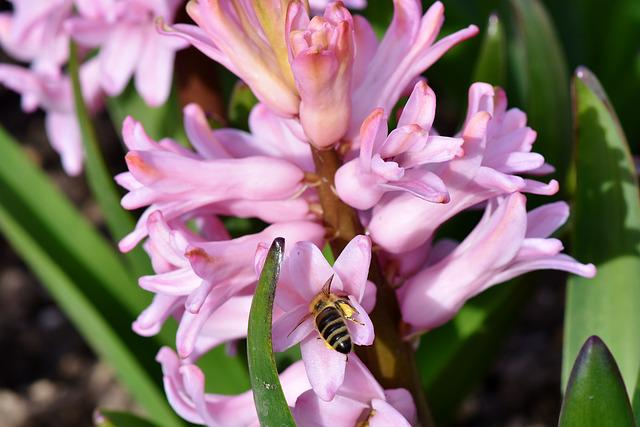 Hyacinth, Flowers, Spring Flower, Bee, Pollen, Sprinkle
