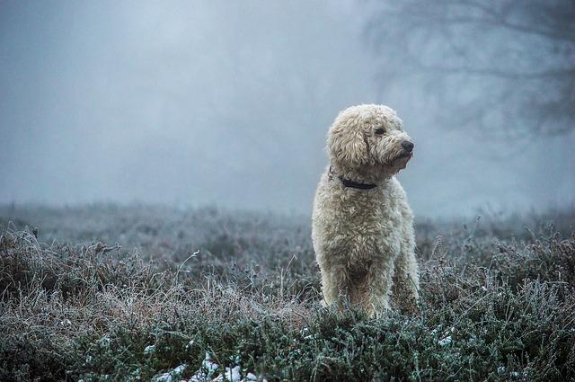 Goldendoodle, Dog, Hybrid, Fog, Mammal, Nature, Animal