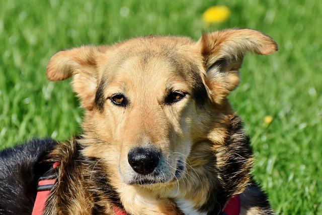 Dog, Mixed Breed Dog, Hybrid, Snout, Animal, Pet