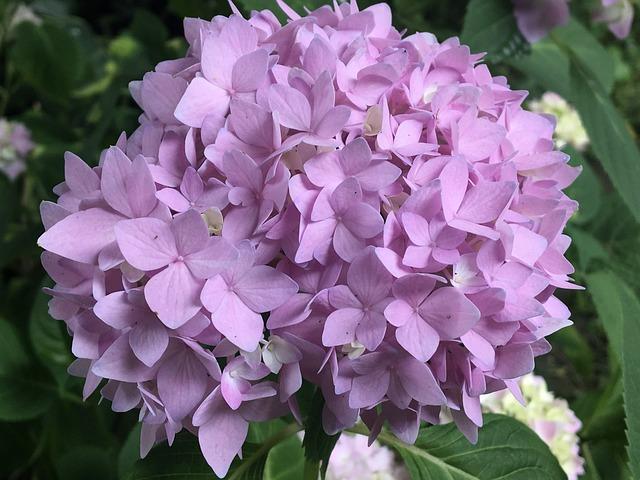 Hydrangea, Flower, Nature, Garden, Blossom, Bloom, Pink