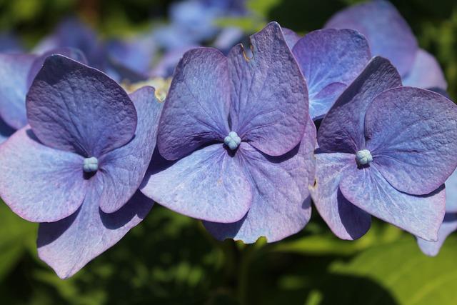 Flower, Hortensia, Blue, Hydrangea, Summer, Blossom