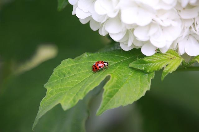 Ladybug, Hydrangea, Leaf, Spring, Garden, Red, Bright