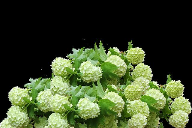 Hydrangea, Hydrangea Bush, Flower Garden, Flowers