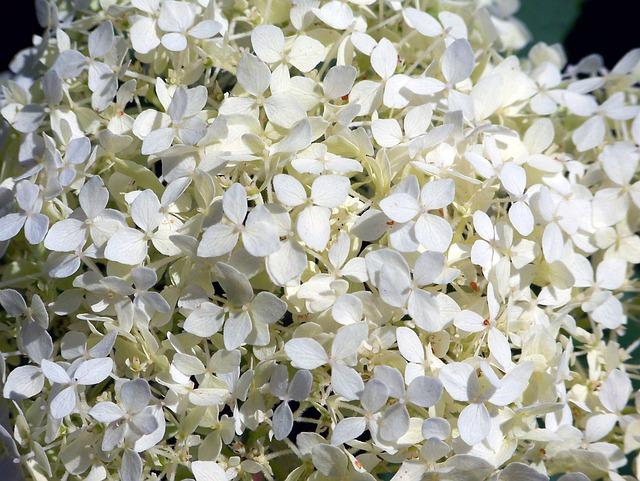 Hortensia, Hydrangea, White, Flower, Flora, Plant